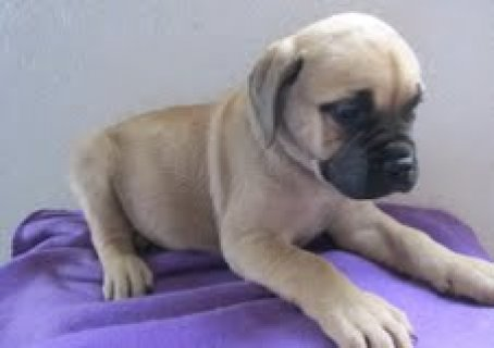 We are offering our English Bull Mastiff Puppies