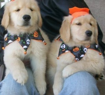 2 Affectionate Male and Female Golden Retriever Puppies For SALE