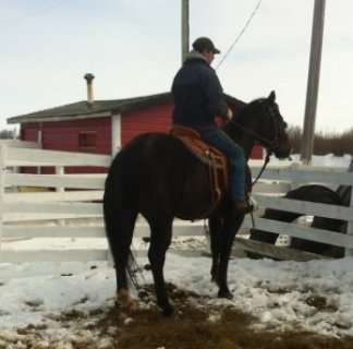 BIG BEAUTIFUL SOLID QUARTER HORSE GELDING FOR SALE