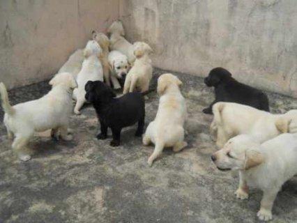 100% healthy Labrador Puppies for adoption