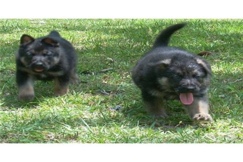 Two German shepherd puppies for adoption236