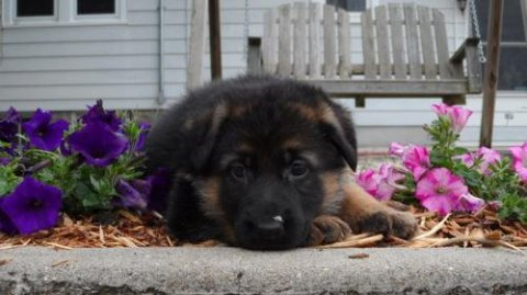 2 German Shepherd puppies for Rehomingq4536