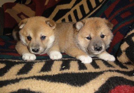 shiba inu puppies for free adoption