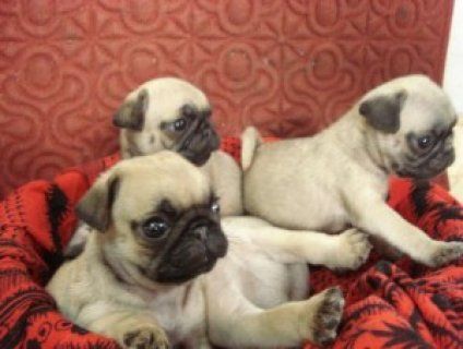 صور pure breed pug puppies for sale. 1