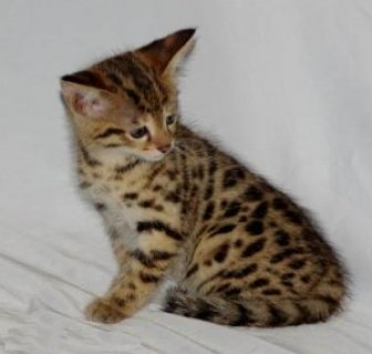 amazing bengal kitten for adoption