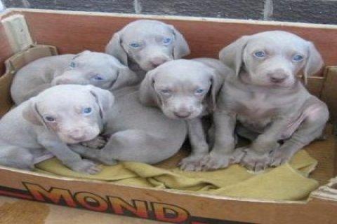 weimaraner pups for sale
