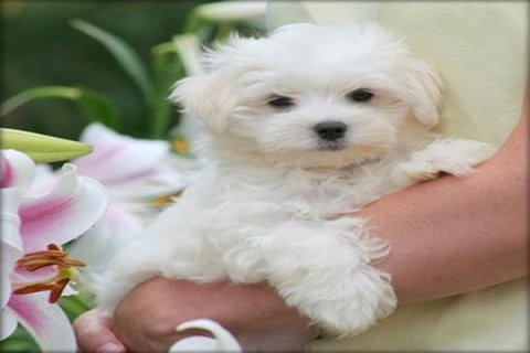 Gorgeous White Teacup Maltese Puppies