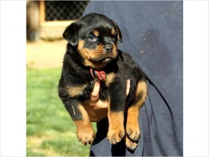 Quality firm pure rottweiller puppies available