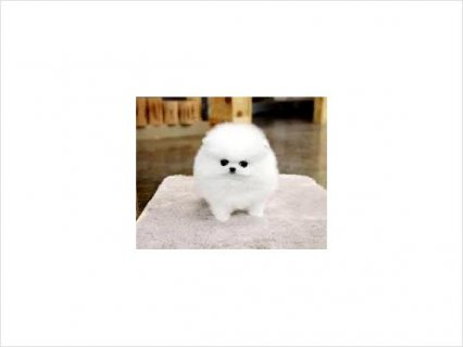 Gorgeous Teacup Pomeranian Puppies, Male & Female