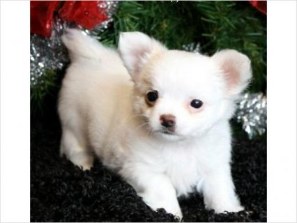 Akc chihuahua puppies for adoption