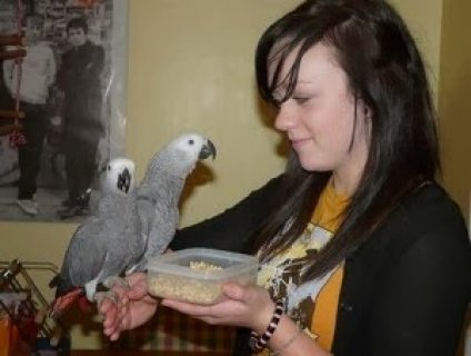 Two Male and Female African Grey Parrots For sale