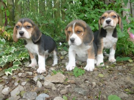 Tri Coloured Beagles Puppies Ready Now