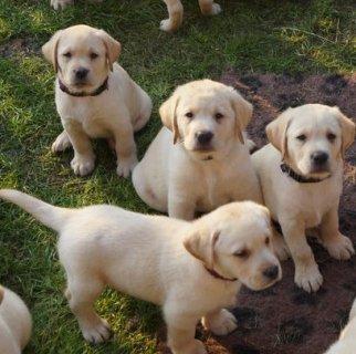 Affectionate Labrador Puppies For Adoption