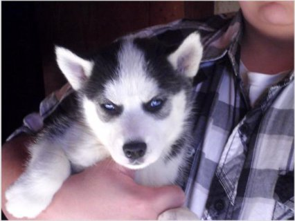 Siberian Husky Pups For Rehoming