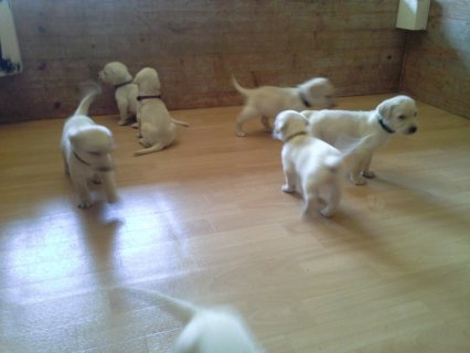 Healthy Male and Female Labrador Puppies for adoption