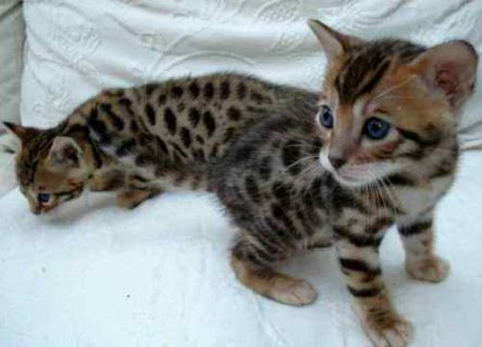 QUALITY Male And Female Bengal Kittens Ready