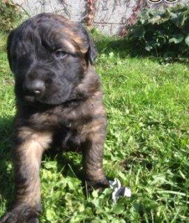 Leonberger Puppies for adoption - رباط 12299
