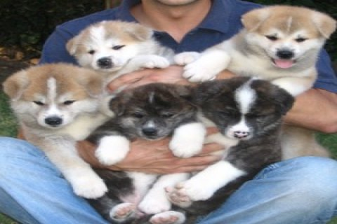 stunning Akita puppy both male and female For Xmas