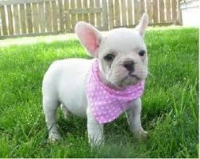 Adorable French Bulldogs for Xmas Presents