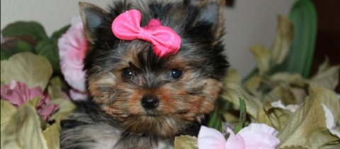 صور Beautiful Teacup Yorkie Puppies Available For Xmas 1