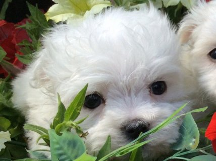 Xmas Male And Female Maltese Puppies