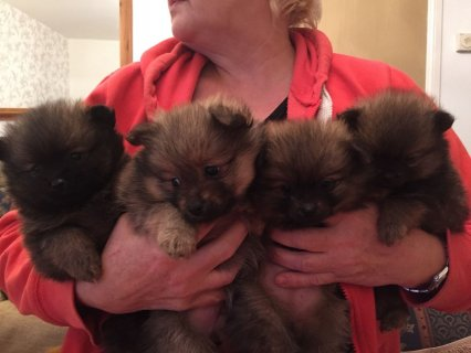صور Gorgeous Pomeranian Puppies Available For Xmas  1