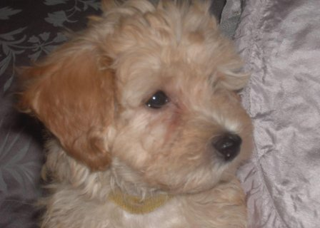 High Quality Red Maltipoo Female Puppy Kc Reg Parents