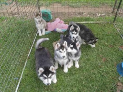 صور Well bred Pedigree Blue Eyes Siberian husky pups 1