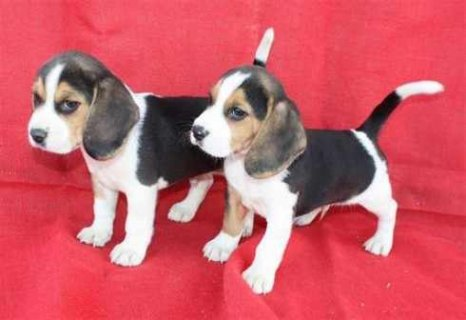 Male And Female Pure Breed Beagle Puppies For Adoption.
