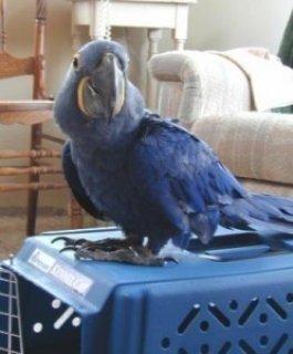 Blue Macaws Parrots for Sale>>>>>>>>>