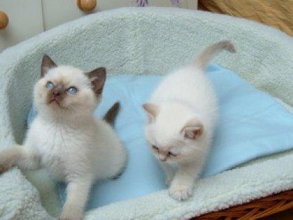 Beautiful Pedigree Ragdoll Kittens<>