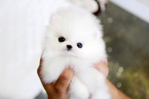 Pomeranian for Sale<>
