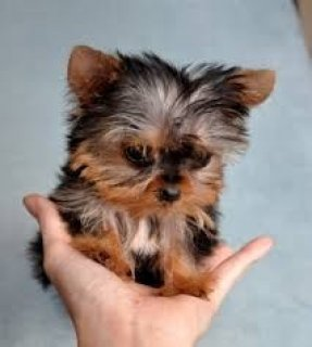 Teacup Yorkie Puppies For XMassss