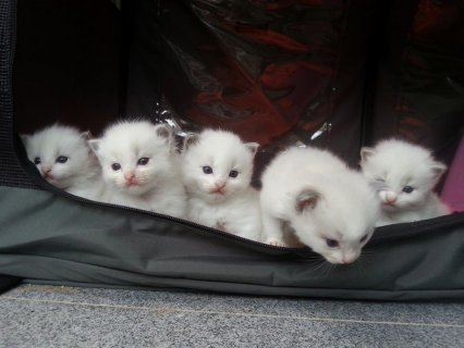 Hand-Raised Ragdoll Kittens