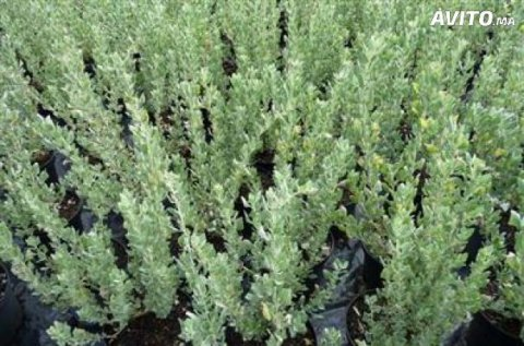 Pépiniériste vend 100.000 plantes d'atrippex sur région settat
