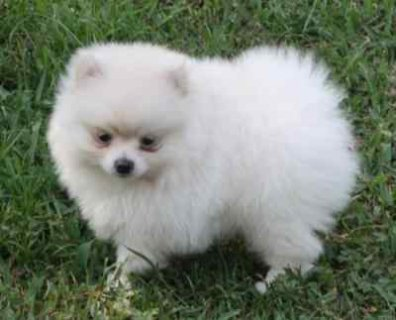 ....Lovely Female Pomeranian puppy..............