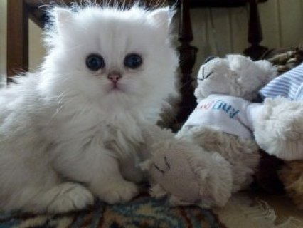 صور Cute Persian Kittens Available for adoption in ... 1