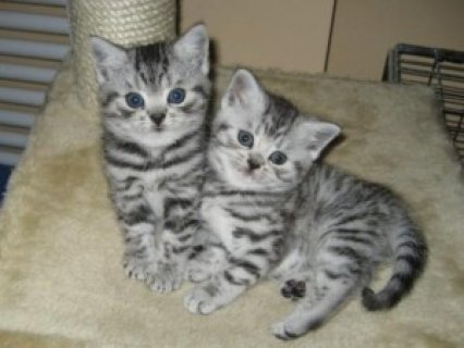 British Shorthair kittens for good homes