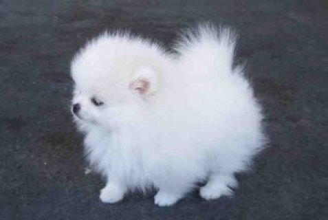 pomerian puppy for sale