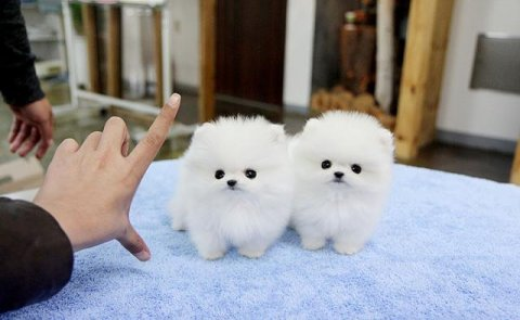 Micro Teacup pedigree Pomeranian Puppies