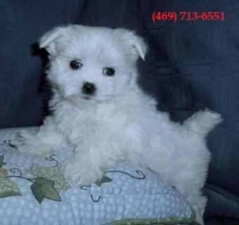 صور Cute Teacup Maltese Puppies for Sale 1