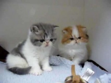 Exotic Shorthair for Sale