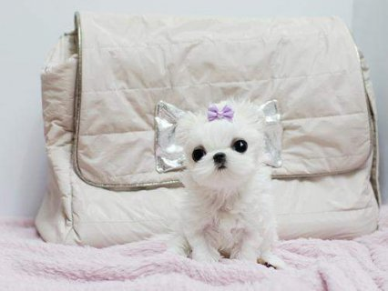 Excellent Male And Female Tea Cup Maltese Puppies Ready To Go Ho