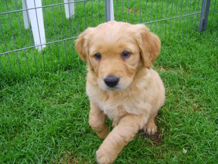 Creme White Golden retriever puppies looking for new homes1