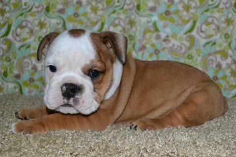 Good Looking English bulldogs puppies for adoption1