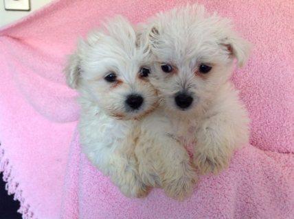 Snow white bichon frise puppies for adoption1