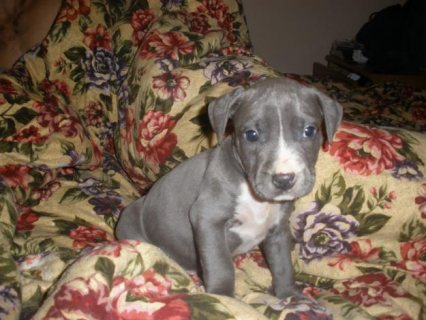 American Pitbull Terrier Puppies for Offer Now..