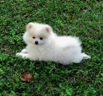 Healthy Pomeranian Puppies For New Homes11