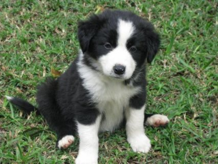 2 border collie puppies available for your home22