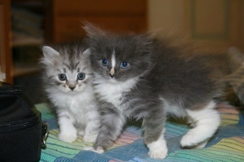 Cute Siberian Kittens ready to go For Good Homes22222
